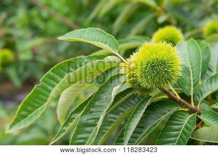 Chestnut (castanea Fruits)