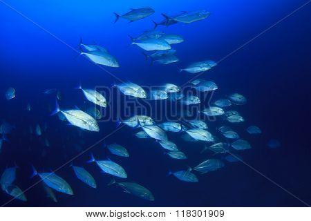 Fish school in blue water: Bigeye Trevallies (Jack fish)