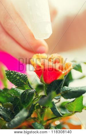 people, gardening, flower planting and profession concept - close up of woman or gardener hand spraying rose with sprayer
