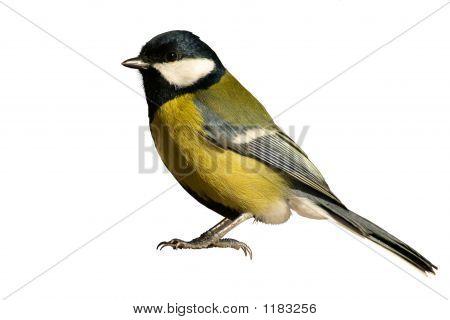 Tomtit Bird Isolated On White