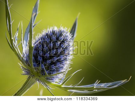 Closeup of sea holly blue inflorescence (eryngium planum )
