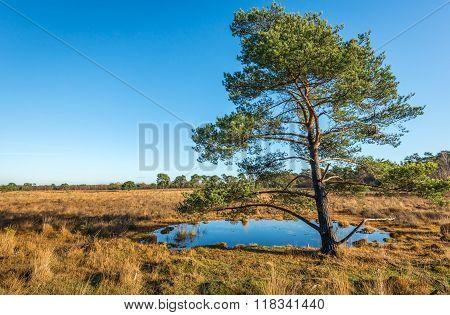Scotch Fir In An Autumnal Landscape