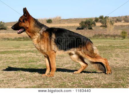 German Dog Upright