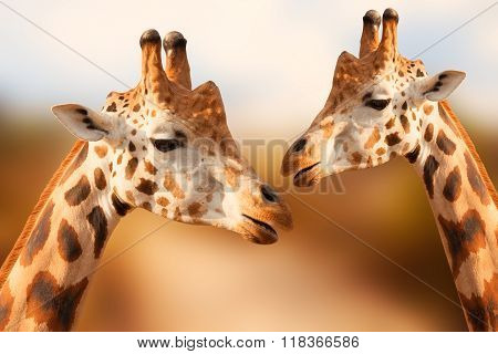 Portrait of giraffes on the brown background