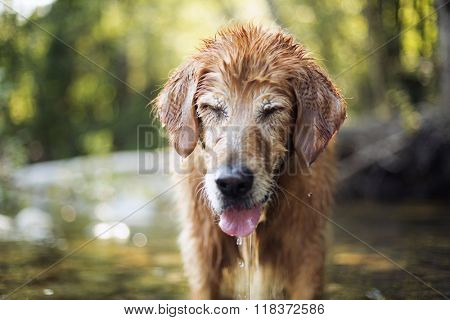Golden retriever dog swimming in the river