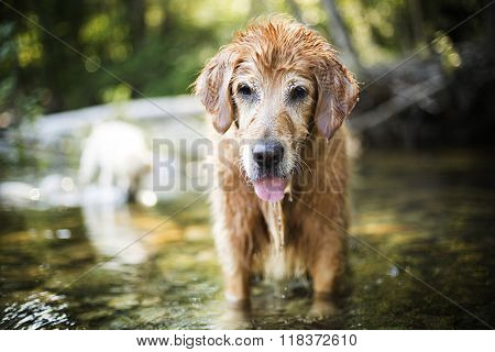 Golden retriever dog and best friend in the river