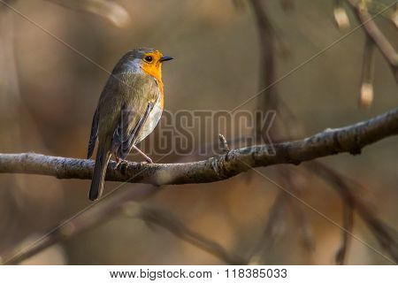 Robin Redbreast (erithacus Rubicula)