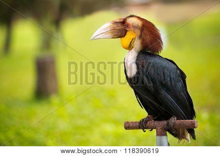 Toco Toucan (Ramphastos toco), exotic animal