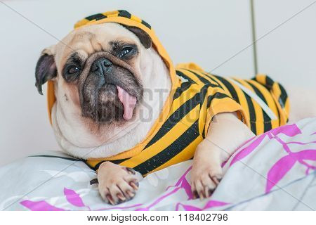Closeup of old sleeping pug puppy with snot of cold wear yellow Sweatshirt with Hood on bed