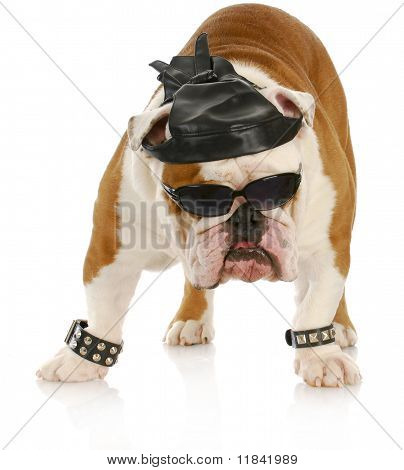 english bulldog dressed up like a tough biker with leather skull cap on white background poster