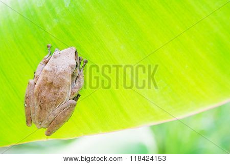 Golden Tree Frog Common Tree Frog, Polypedates leucomystax is a species in the shrub frog family Rhacophoridae.