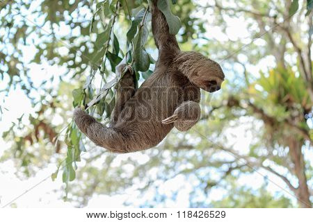 Sloth Climbing Tree In Nature Reserve In Brazil
