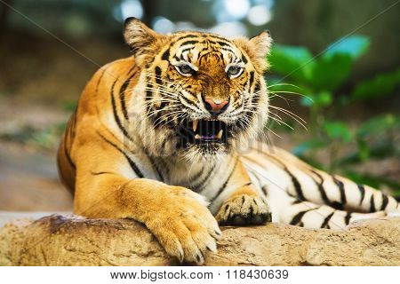 The Sumatran tiger (Panthera tigris sumatrae) is a rare tiger subspecies that inhabits the Indonesian island of Sumatra.