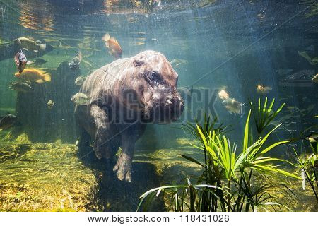 Pygmy hippos swimming underwater with many fish.