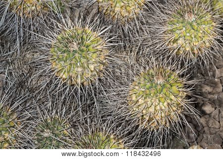 Spiked Succulent Plant