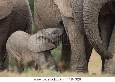 African Elephant Calf 2
