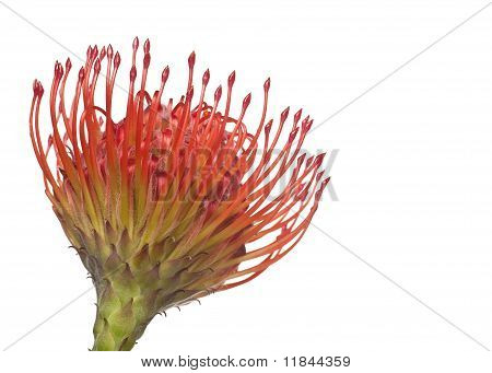Leucospermum Flower