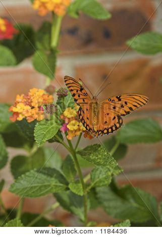 Monarch Butterfly On Lantana Bush 2