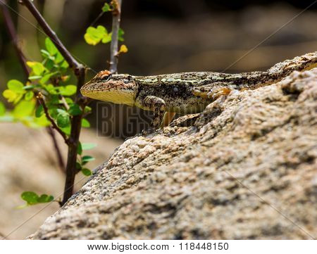 Indian camoflaged Lizard.