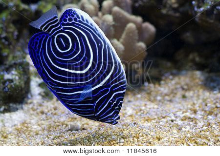 Pomacanthus navarchus blue girdled angel sea fish poster