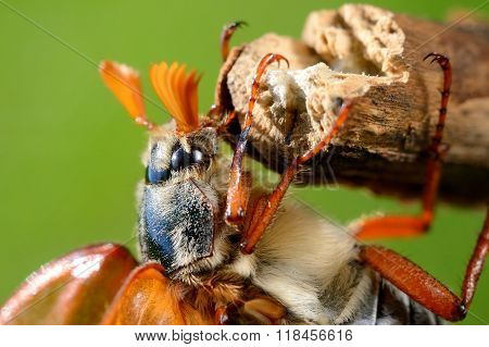 Cockchafer or May bug (Melolontha melolontha) in natural environment poster