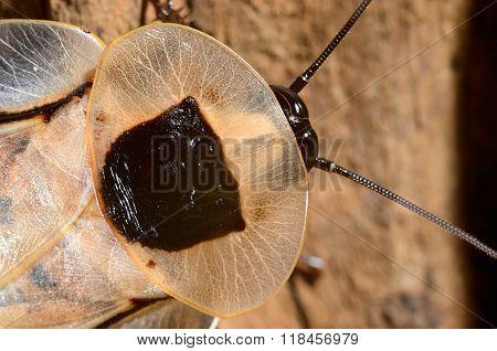 Giant cockroach Blaberus giganteus in natural looking terrarium