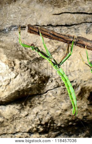 Green stick insect on a stick in terrarium