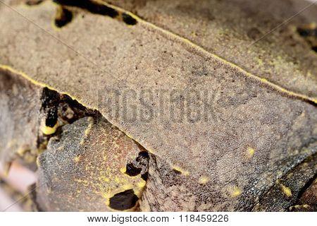 The Long-nosed Horned Frog Megophrys Nasuta Skin Close-up