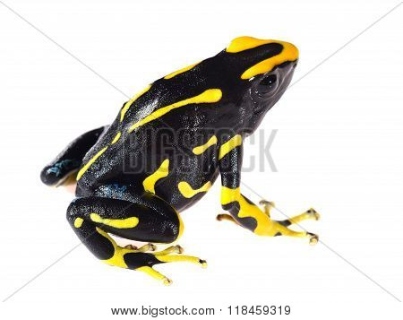 Yellow Dyeing Dart Frog Dendrobates Tinctorius Allanis Isolated On White