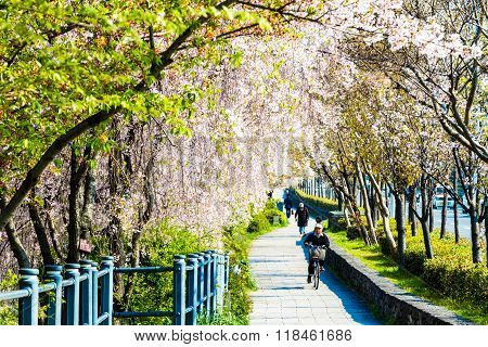 The Perspective View Of Kyoto Stree View As Background In The Sakura Season