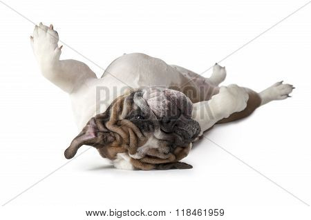 English Bulldog Lying On His Back