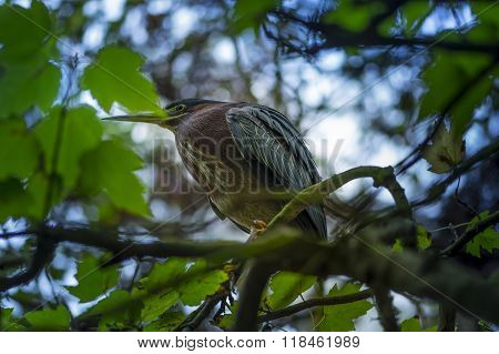 Green Heron Butorides Virescens