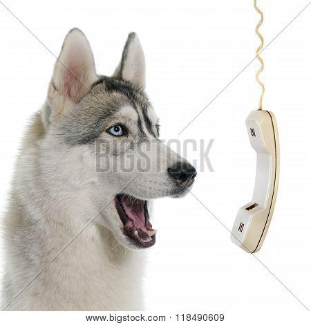 Gray Siberian Husky Calling