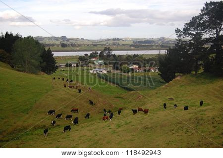 Cows At Hills Farm Rural Area