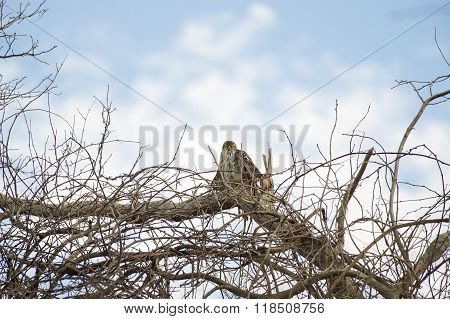 Juvenile Cooper's Hawk Perched