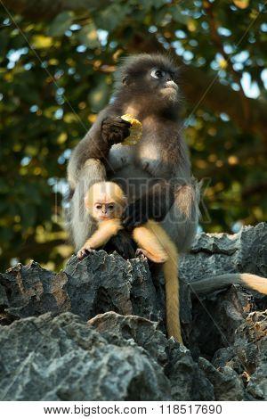Dusky Langur Mommy And Baby