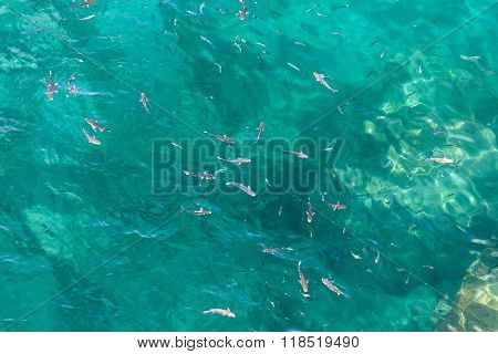 Many Fish On The Surface Of The Alboran Sea In The Strait Of Gibraltar