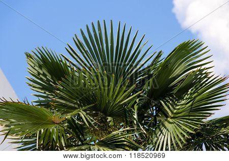 Foliage Of Palm