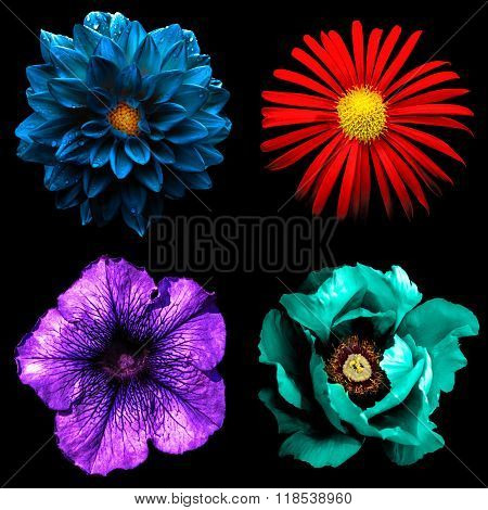 Set Of 4 In 1 Surreal Flowers: Red Chrysanthemum, Violet Althea, Blue Dahila And Cyan Peony Isolated