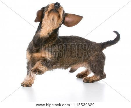 playful miniature wirehaired dachshund on white background