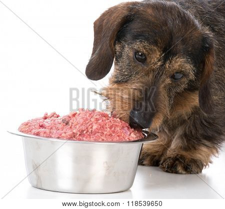 miniature wirehaired dachshund eating a raw dog food on white background