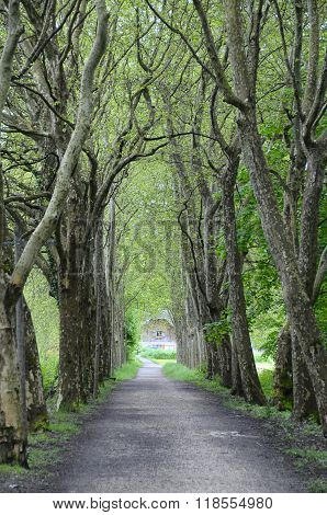 Walking Path Road And Sycamores Tree