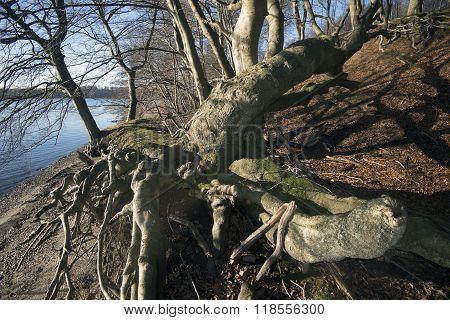 Coastline Tree Roots