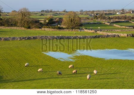 Sheep In Ireland