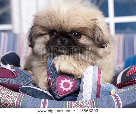 Pekingese puppy and heart symbol of love