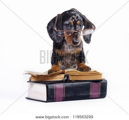 purebred dachshund puppy in glasses and book