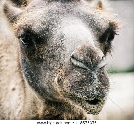 Bactrian camel - Camelus bactrianus - humorous closeup portrait. Animal scene. poster