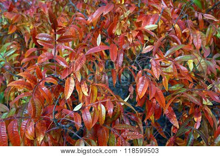 Shining Sumac Bush in Autumn