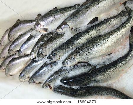 Fresh Fishes Salmon