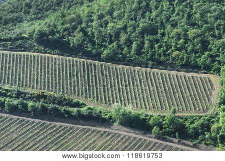 Tuscan Vineyard From Far